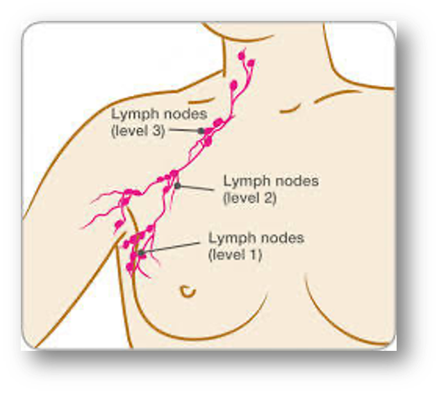 Diagram of Lymph Nodes - Center for Restorative Breast Surgery
